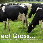 Biosolids grass field with cows grazing
