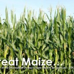Biosolids fertiliser great maize criop growing